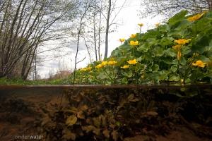 voorjaar, bloemen, dotterbloemen, bronbeek