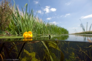 onderwaterfotografie, helder water, gezond water, vijver, vijverplanten, sloot, beek,