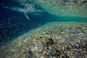 beekforel, salmo trutta, onderwaterfotografie, helder water, slovenie