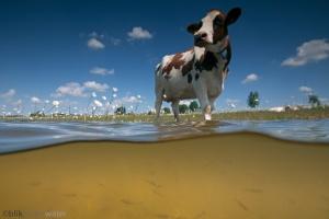 onderwaterforografie, polder, hoog water, inundatie, vismigratie, paaien, paaiende vissen, koe, uiterwaard, margriet