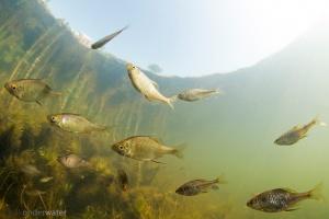 helder water, onderwaterfotografie, duiken, onderwaterfotografie, blikonderwater.nl, blik onder water, onder water, sloot; poldersloot; Hollands; zoetwatermossel;