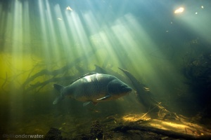 karper, Cyprinus carpio, onderwaterfotografie, helder water, onderwater, licht