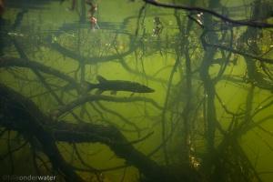 snoek, Esox lucius, zoetwatervissen, freshwater, Esocidae, onderwaterfotografie, stock, natuurbeeld, in sloot en plas, dood hout