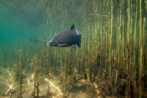 brasem, paai, vissen, onderwaterfotografie, stock, helder water, Abramis brama