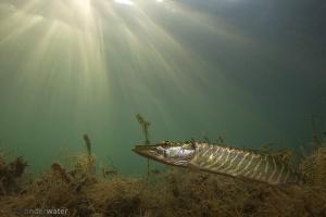 snoek, Esox lucius, zoetwatervissen, freshwater, Esocidae, onderwaterfotografie, stock, natuurbeeld, in sloot en plas