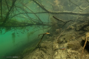 driedoornige stekelbaars, Gasterosteus aculeatus, vismigratie, polderwater, broedzorg, onderwaterfotografie, natuurstock, holland,rivierhout