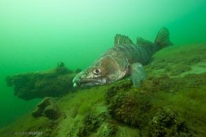 snoekbaars,Stizostedion lucioperca,Sander lucioperca, zander, roofvissen, onderwaterfotografie