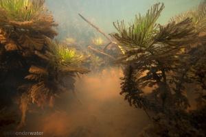 waterviolier, hotonia palustris, kwel, grondwater, winter, onderwaterfotografie, aquatische ecologie