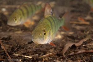 baars,perca fluviatilis, onderwaterfotografie, vissen, zoetwatervissen, helder