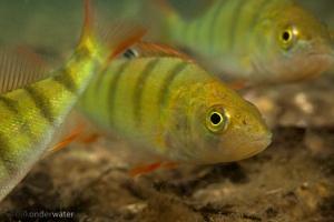 baars,perca fluviatilis, onderwaterfotografie, in sloot en plas, vissen, zoetwatervissen, helder
