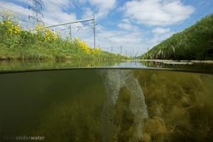 baars,perca fluviatilis, onderwaterfotografie, in sloot en plas, vissen, zoetwatervissen, helder, betuwelijn