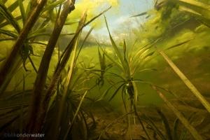 krabbenscheer, helder water, bos, blikonderwater, onderwaterfotografie, waterkwaliteit