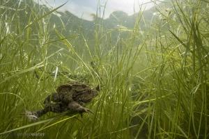padden amplex, buffo buffo, amplex, onderwaterfotografie, helder water, voorjaar