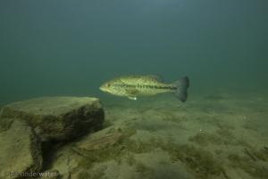 Micropterus salmoides, grootbekbaars, Largemouth bass, lago mergozzo,Lago Maggiore