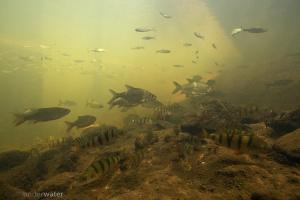 baars, perca fluviatilis, roofblei, biodiversity, onderwaterfotografie, underwater, clear